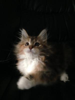 Lily Tigress
